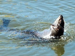 A seal appeared in Karamu Stream near Whakatu yesterday, taking a relaxing break from its usual sea environment 7km away. Photo / Glenn Taylor