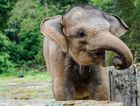 Bona the baby elephant was found orphaned and malnourished in Sumatra.
