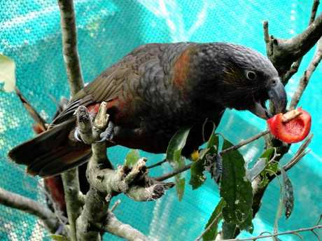 LUNCHTIME: One of Boundary Stream&#39;s new kaka, feasting on capsicum. &quot;I don&#39;t know if they&#39;ve been given red pepper before but they seemed to love it,&quot; says DoC programme manager Barbara Curtis. PHOTO/B CURTIS, DoC