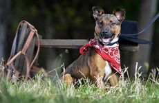Princess the kelpie-cross flaunts her new-found cowgirl look for The Queensland Times Pimp Your Pet promotion.