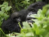 COME face-to-face with gentle giants on a gorilla trek through the lush green forests in Rwanda.