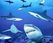So far this year 48 sharks, 27 considered dangerous, have been caught at Rainbow Beach with shark-control equipment.