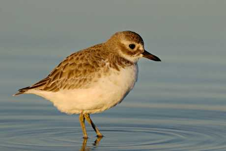 The Rena oil spill has had a major impact on the New Zealand dotterel population.
