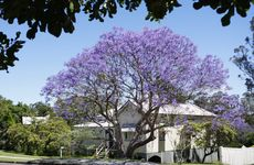 Jacaranda trees flowering around Ipswich. Woodend Road.