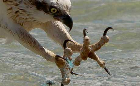 Photographer John van den Broeke captured this image of an osprey struggling with fishing line.