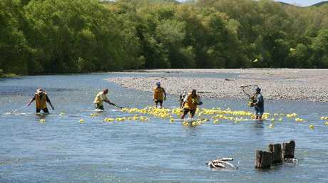 MELLOW YELLOW: It took volunteers more than three hours to collect all the yellow rubber ducks after Saturday's Waipawa Spring Festival. PHOTO/NICKI HARPER CHB161012DDAY6