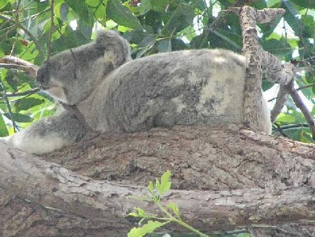 RARE SIGHTING: Seeing koalas is a rarity these days but a survey shows Noosa residents are concerned.