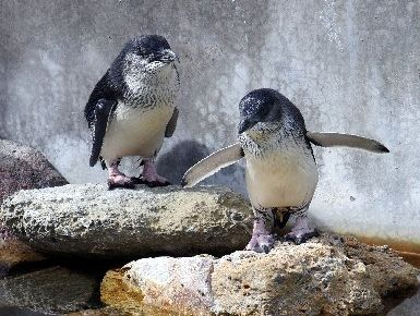 Eleven little blue penguins have been moved to a special enclosure at the National Aquarium. Photo / File