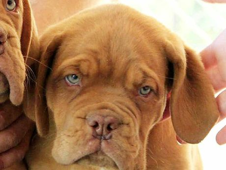 DOG GONE: The Dogue de Bordeaux puppy that disappeared from the Greencross Vet clinic at Redbank Plains. 