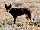 The wild dog population has exploded across Australia, causing millions of dollars worth of damage to the cattle and sheep industry. Photo Contributed