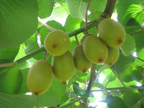 Kiwifruit was also performing well, with only two cases of the Psa disease reported in Hawke's Bay.