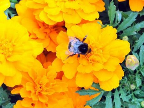 Marigolds add a splash of colour to your garden.