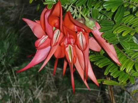 A flowering kakabeak in the Maungataniwha Native Forest.