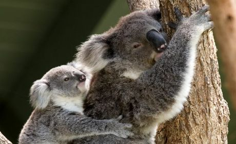Koala baby on its mother's back