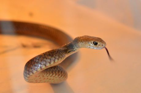 Bundaberg residents are being urged to be vigilant after a spate of snake bites.