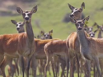 The number of deer farms in New Zealand is declining. 