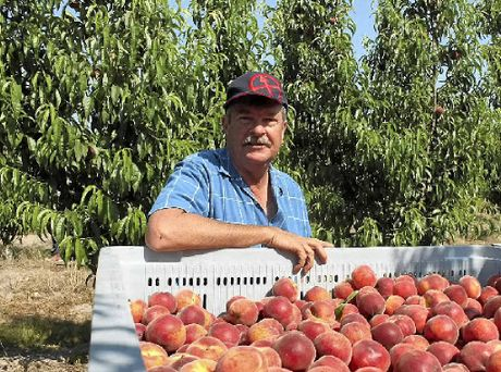 MORNING HARVEST: Pikes Creek Orchard's Graham Finlay with a crate full of premium peaches