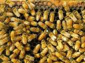 The plight of bees could have a hefty impact on the New Zealand economy, a University of Canterbury ecologist says.