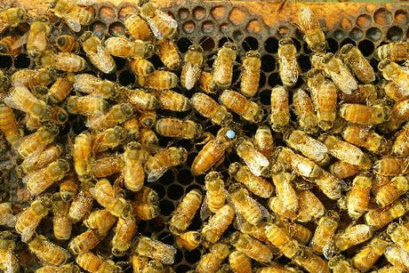 A compulsory levy may be necessary for the bee-keeping industry.