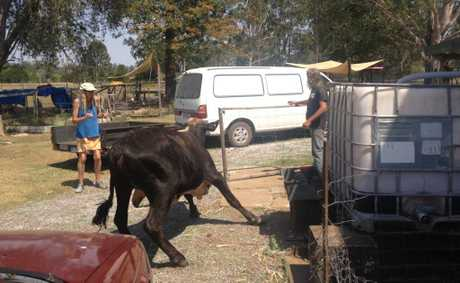 Theebine residents chase a stray bull from their backyard.