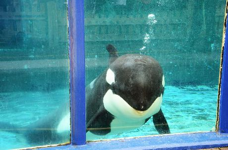 D-DAY: A court will rule on Morgan the orca's future.