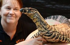 Michelle Leggat and Wally the lace monitor get to know each other.