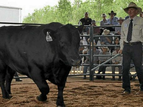 HIGH PRICED: A young Charolais bull called Ascot Doc Silver sold for $20,000 to top the inaugural Ascot sale on Friday, while Angus bulls sold to $17,000. The top-priced Angus was Lot 4 Kansas Africa (pictured above), which was purchased by the Blackley family from Blayney.