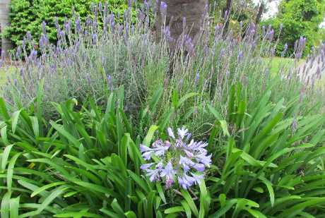 Potted lavender in the fork of a citrus tree and borage around the base lure pollinating bees