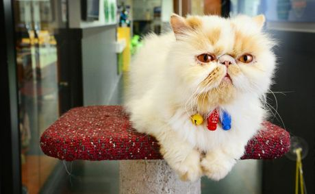 For the rest of November and into December, RSPCA QLD will be adopting adult cats like Bear a 5-year-old Persian cross for just $20.