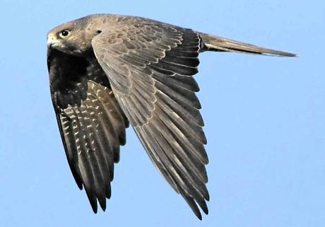 CARNIVORE: The Black Falcon is 4555 cm in length, uniformly dark brown to sooty black, with a pale throat and an indistinct black streak below each eye.