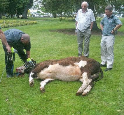 DOWNED: A crowd gathered in Frimley Park, Hastings, yesterday afternoon after a cow running loose in the neighbourhood was shot by police. PHOTO/SUPPLIED