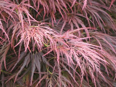 Japanese maples need wind protection and watering in hot weather.