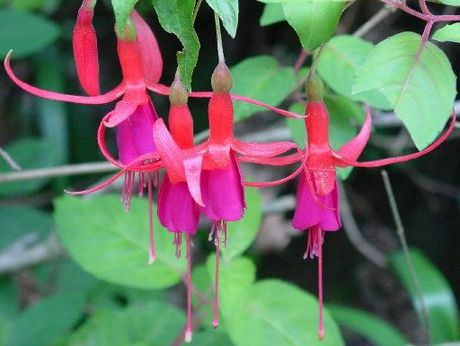 Fuchsias are back in fashion.