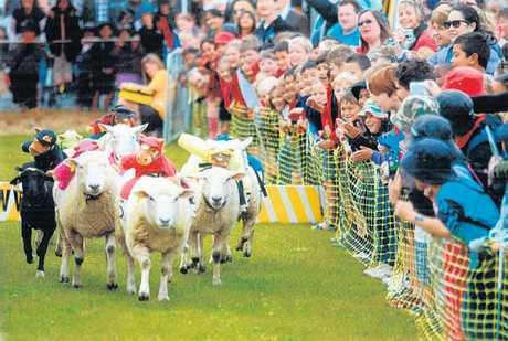 UNIQUE: Stuffed jockeys racing sheep is part of the entertainment at this weekend&#39;s Stratford A&amp;P Show.