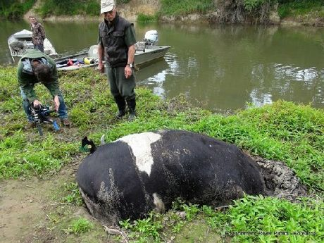 STOCK TAKE: A documentary crew films a dead cow stuck in mud on the Wairua River bank near Malones Rd, Poroti.