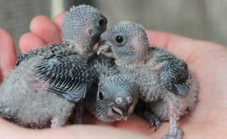 Macleay's Fig Parrot chicks at the Currumbin Wildlife Century. Photo: Amy Potton