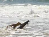 RARE and dramatic footage of a dingo attacking a swamp wallaby in the surf on Fraser Island has been captured by a ranger-guide hosting a tour.