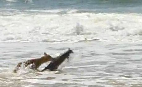 A dingo captures a swamp wallaby in the surf on Fraser Island&#39;s Seventy-Five Mile beach. Warning: some viewers may find the video distressing.