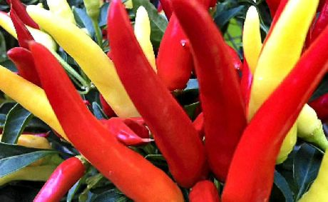Chillies are easy to grow are colourful and don't take up much space.