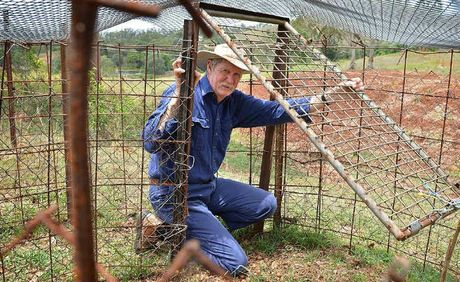 Les Gain in the trap that has caught four feral pigs in two months on his Amamoor farm.