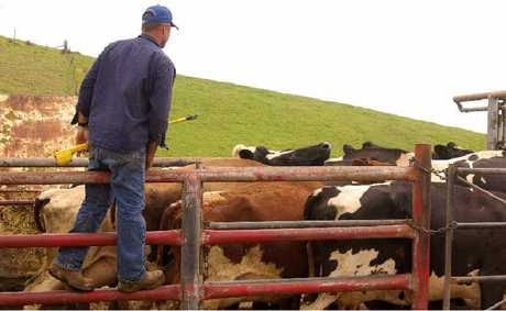Ben Fredrickson on the rails loading his last dairy cows at his property at Dalrymple Heights on Sunday.