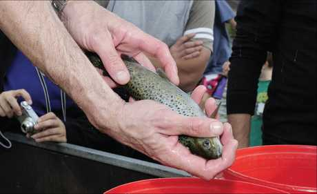 About 200 brown and 500 rainbow trout were released into Lake McLaren and the canal, as part of the annual trout release.