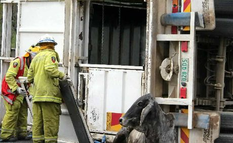 Rural firefighters and truck drivers worked to free the cows inside the Robinson Transport truck yesterday afternoon.