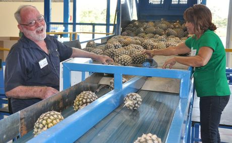Pineapples on the assembly line at Tropical Pineapples at Yeppoon.