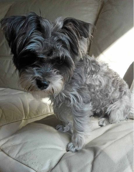 Lisa Mills' beloved pet Roxy, a one-year-old Maltese-shih tzu, schnauzer cross. Mrs Mills believes the dog was run over and wants to find her body to give her a fitting farewell.
