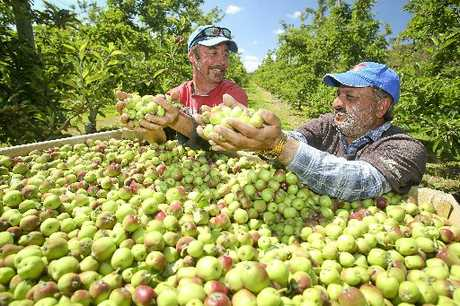 YIELD: Kent Griffiths (left), Hastings orchardist, and Balwinder Singh, orchard manager, with a bin of recently thinned Envy apples that will be made into juice. HBT124059-4