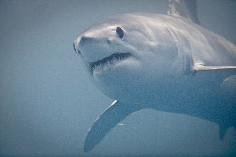 UNEXPECTED: A much-travelled mako shark has arrived in Hawke's Bay waters.
