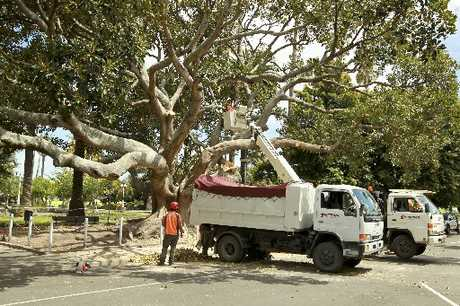 Contractors were at work yesterday cutting back the broken branches, which left a large gap in the centre of the giant Moreton Bay fig which now has a question mark over it. Photo / Glenn Taylor
