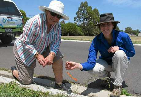 ERADICATE WEED: Condamine Alliance principal project officer (community), Alex Kennedy, shows what Chilean Needlegrass looks like to Beverley Smith of Nobby.