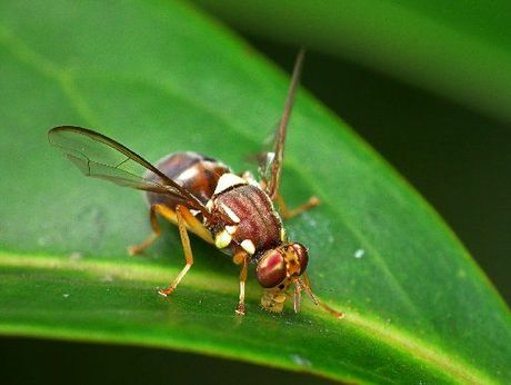The Queensland fruit fly scare in Auckland this year raised the spectre of another pest with the potential to damage New Zealand's primary industry.